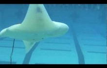 Robotic Ray Takes a Swim